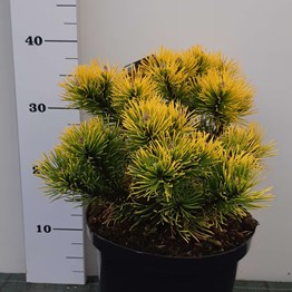 PINUS MUGO CARSTEN WINTER S GOLD