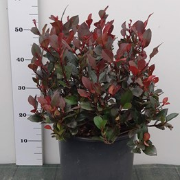 PHOTINIA F. LITTLE RED ROBIN