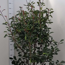 PHOTINIA F. RED ROBIN 125/150